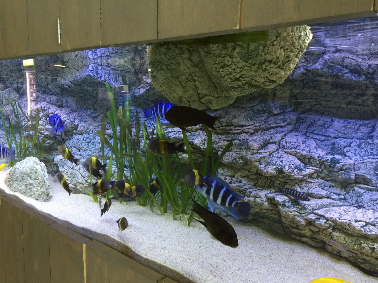 Modules zijn perfect om toe te voegen aan Tanganyika aquarium